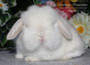 Reine Mini Lop Baby Kaninchen