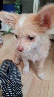 Chihuahua Mädchen 3 Monate blond