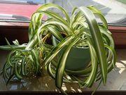 Grünlilie Zimmerpflanze pflegeleicht BtBj