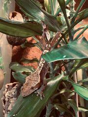 Kronengecko Rhacodactylus