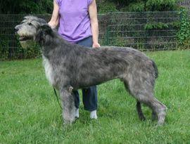 Hunde - Irish Wolfhoundwelpen VDH