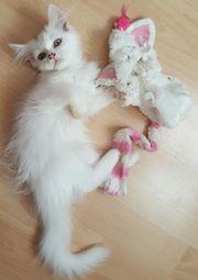 Türkisch Angora- Perser Katze