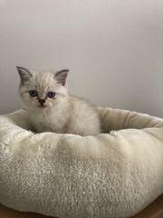 Perser BKH Kitten Junge