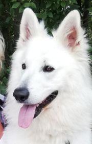 Sehr schöner weißer schweizer Schäferhund
