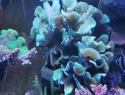Meerwasser Korallen große Tiere abzugeben