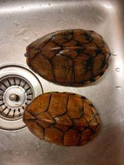 Dachmoschusschildkröten