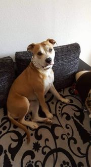 Staffordshire terrier oder mix