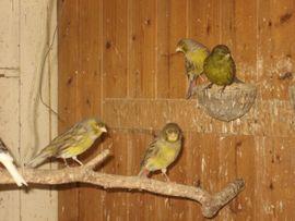 Bild 4 - Kanarienvögel Kanarien Vögel schwarz gelb - Birkenheide Feuerberg