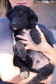 Zuckersüßer Rio Kroatischer Schäferhund Welpe