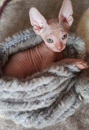 Kitten kanadische Sphinx zu verkaufen
