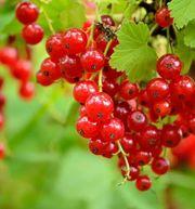 Johannisbeere rot Ribes rubrum neu