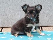 Chihuahua Hündin in Langhaar