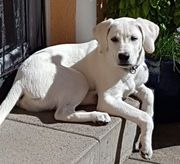 Weiße Labrador Welpen aus liebevoller