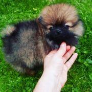 9 Wochen alte Pomeranian Welpen