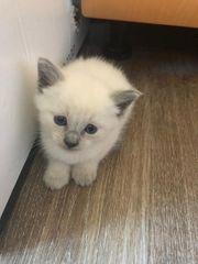 Reinrassige Siam Babykatzen