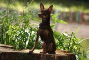 Prager Rattler reinrassig Junghund