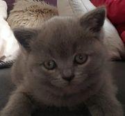 Bkh Kitten ein Mädchen