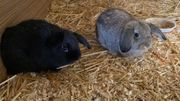 Mini-Loop zwergwidder Kaninchen