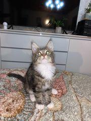 Dringend abzugeben Maine Coon Kitten
