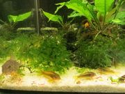 Aquarium Fische Welse Panzerwelse