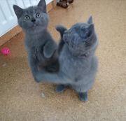 BKH Kitten warten auf Sie