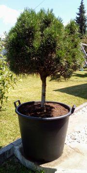 Kiefer Zirben Baum im Topf