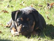 Old Englisch Bulldog Englisch Bulldog
