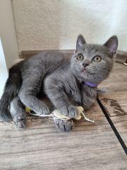 Britisch kurzhaar Kitten suchen ein