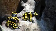 Gelbgebänderter Baumsteiger Dendrobates leucomelas