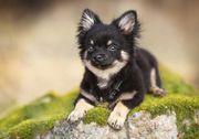 Suche Chihuahua Rüde
