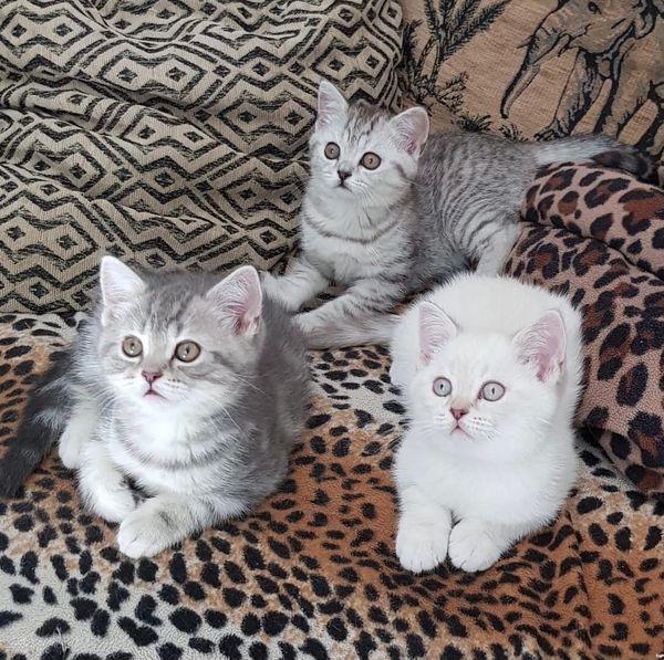 Reinrassige BKH Kätzchen zu verkaufen