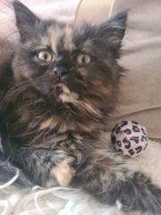 BLH Kitten weibliche Schoko thortie