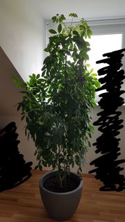 Zimmerpflanze Schefflera
