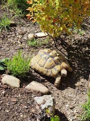 Griechisches Landschildkröten THB Weibchen NZ
