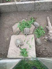 5 Landschildkröten