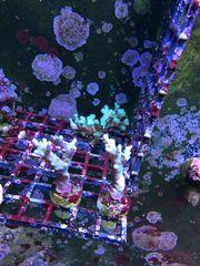 Korallen Sps Montipora Acropora
