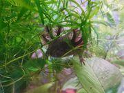 Axolotl Nachzuchten dürfen ausziehen BD