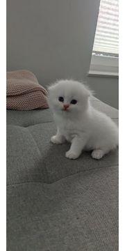 Scottisch Fould kitten