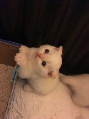 Süße Kitten zu Verkaufen
