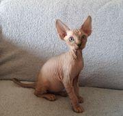 Reinrassiges Don Sphynx Kitten