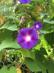 100Samen meiner Prunkwinde meist lila