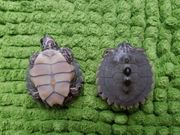 Schwarzknopf-Höckerschildkröten Graptemys nigrinoda nigrinoda
