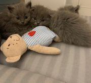 Bild hübsch blh blau Kätzchen