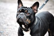 Deckrüde Französische Bulldogge black and