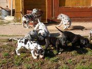 Deutsche Doggen Welpen VDH-Papiere