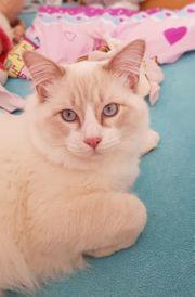 Wunderschöner Ragdoll Deckkater Lilac Tabby