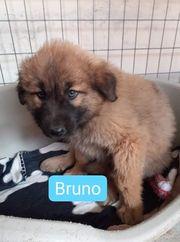 Welpe Bruno sucht sein Zuhause