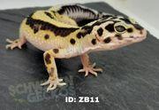 Leopardgeckos Zorro Bandit Blizzards