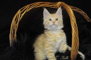 Maine Coon Kater Falk red