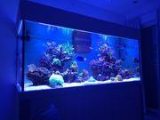 Korallen Acropora Paket 8 verschiedene